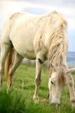 Stående av beta för vit häst royaltyfri foto