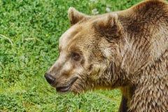 Stående av björnen Arkivfoton