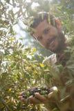 Stående av bonden som kontrollerar ett träd av oliv i lantgård fotografering för bildbyråer