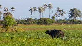 Stående av buffeln som betar på ett bevattna hål, Okavango deltaOkavango grässlätt, Botswana, Söder-västra Afrika arkivfoton