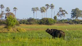 Stående av buffeln som betar på ett bevattna hål, Okavango deltaOkavango grässlätt, Botswana, Söder-västra Afrika royaltyfria bilder