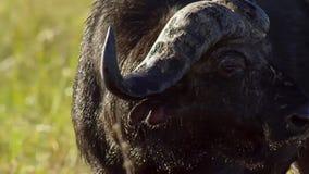 Stående av buffeln som betar på ett bevattna hål, Okavango deltaOkavango grässlätt, Botswana, Söder-västra Afrika arkivbild