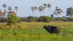 Stående av buffeln som betar på ett bevattna hål, Okavango deltaOkavango grässlätt, Botswana, Söder-västra Afrika arkivbilder