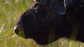 Stående av buffeln som betar på ett bevattna hål, Okavango deltaOkavango grässlätt, Botswana, Söder-västra Afrika royaltyfria foton