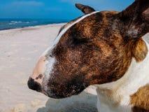 Stående av bullterrierhunden Arkivfoto