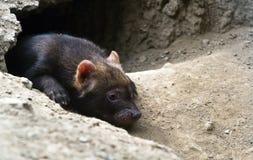 Stående av buskehundvalpen Royaltyfri Fotografi