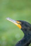 Stående av cormoranten Arkivfoto