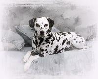 Stående av dalmatianen Arkivbild