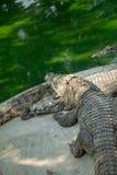 Stående av de djura krokodilerna Royaltyfri Fotografi