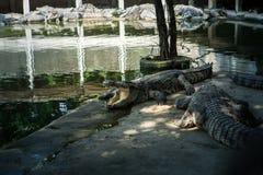 Stående av de djura krokodilerna Arkivfoton