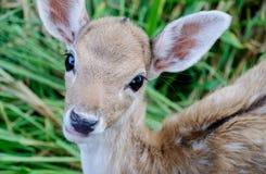 Stående av deers Arkivfoto