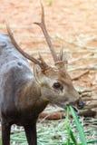 Stående av deers Arkivbilder
