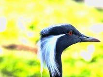 Stående av Demoisellekranen, Anthropoides virgo Fotografering för Bildbyråer