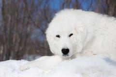 Stående av den älskvärda maremmafårhunden som ser till kameran Närbild av den stora vita fluffiga hunden som ligger på den insnöa arkivfoto