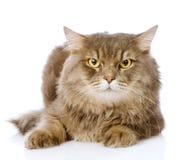 Stående av den allvarliga vuxna katten På vitbakgrund arkivfoto