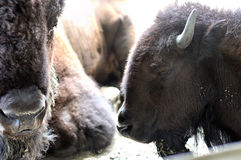 Stående av den amerikanska bisonen på en lantgård Arkivbild