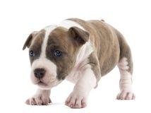 Stående av den amerikanska Staffordshire Terriervalpen Arkivfoton
