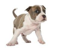 Stående av den amerikanska Staffordshire Terriervalpen Royaltyfria Foton