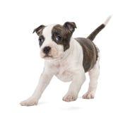 Stående av den amerikanska Staffordshire Terriervalpen Fotografering för Bildbyråer