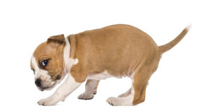 Stående av den amerikanska Staffordshire Terriervalpen Royaltyfri Fotografi