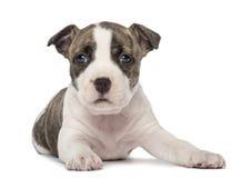 Stående av den amerikanska Staffordshire Terriervalpen Arkivbilder