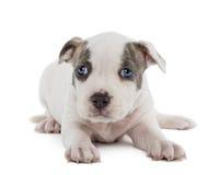 Stående av den amerikanska Staffordshire Terriervalpen Royaltyfri Foto