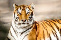 Stående av den amur tigern Arkivfoto