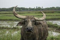 Stående av den asiatiska buffeln Royaltyfria Foton