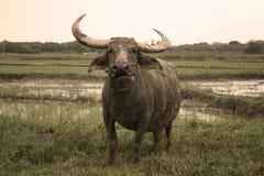Stående av den asiatiska buffeln Royaltyfri Bild