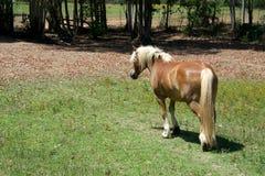 Stående av den avellinese hästen med en blond man i ett fält Royaltyfria Foton
