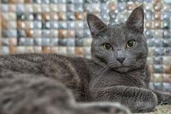 Stående av den blåa katten för ryss med härliga ögon royaltyfria foton