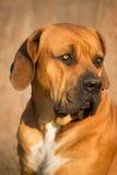 Stående av den Boerboel hunden Royaltyfria Foton