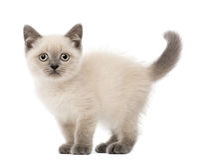 Stående av den brittiska Shorthair kattungen Royaltyfria Bilder