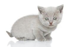 Stående av den brittiska Shorthair kattungen Arkivfoton