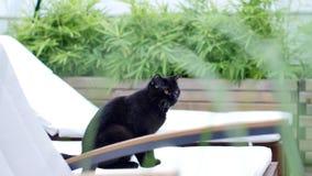 Stående av den brittiska Shorthair svarta katten på fåtöljen Arkivfoton