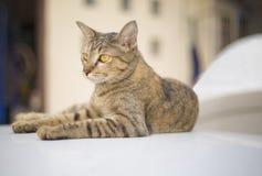 Stående av den brunögda katten Arkivbilder