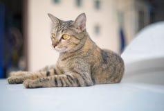 Stående av den brunögda katten Arkivbild
