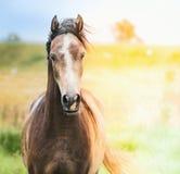 Stående av den bruna arabiska hästen i solljus Arkivbilder