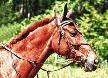Stående av den bruna hästen Arkivfoton