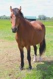Stående av den bruna hästen på en grön äng nära lantgården Royaltyfri Fotografi