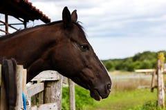 Stående av den bruna hästen som blir i stall Royaltyfri Foto