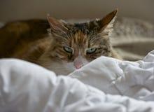 Stående av den bruna katten i naturlig suddighetsbakgrund Nyfiken katt som ser till kameran Kattunge som kopplar av på en säng Royaltyfri Bild