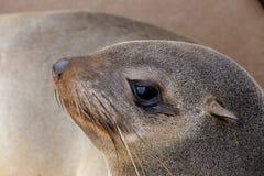 Stående av den bruna pälsskyddsremsan - sjölejon i Namibia Arkivfoton