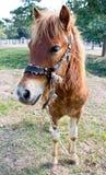 Stående av den bruna ponnyn Royaltyfri Fotografi