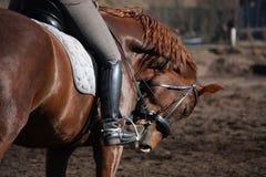 Stående av den bruna sporthästen med ryttaren Royaltyfri Foto