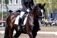 Stående av den bruna sporthästen under show Royaltyfri Foto