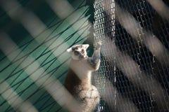 Stående av den cirkel tailed makin Royaltyfria Foton