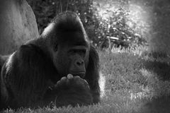 Stående av den eftertänksamma manliga gorillan Royaltyfri Bild