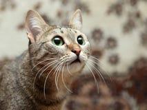 Stående av den eleganta gråa katten royaltyfri fotografi