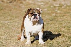 Stående av den engelska bulldoggen arkivbilder